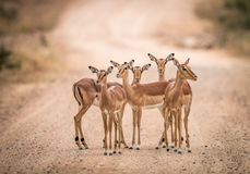 A starring group of female Impalas in the middle of the road. Royalty Free Stock Photos