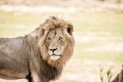 Starring huge male Lion. Stock Photography