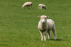 Starring lamb Royalty Free Stock Photography
