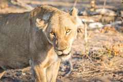 Starring Lioness in the Sabi Sands. Stock Photo