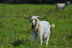 Starring Male goat Royalty Free Stock Photography