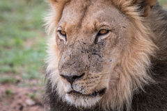 Starring male Lion. Royalty Free Stock Photos