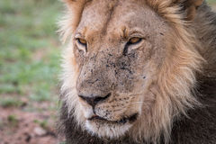 Starring male Lion. Stock Photography