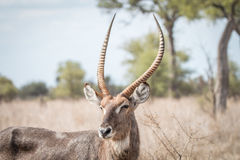 Starring male Waterbuck.3 Royalty Free Stock Photography