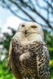 Starring Owl. Bulky body Snowy owls starring Stock Photography