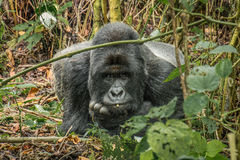 Starring Silverback Mountain gorilla Royalty Free Stock Photos