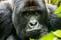 Starring Silverback Mountain gorilla. In the Virunga National Park, Democratic Republic Of Congo stock photography
