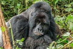 Starring Silverback Mountain gorilla Stock Image