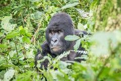 Starring SIlverback Mountain gorilla in the Virunga National Park. stock photos