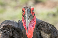 Starring Southern ground hornbill Royalty Free Stock Image