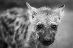 Starring Spotted hyena cub in black and white in the Kruger National Park, South Africa. Stock Photo