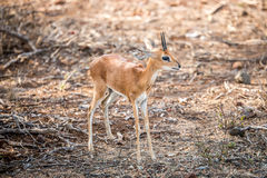 Starring Steenbok in the Kruger. Royalty Free Stock Photo