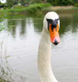 Starring swan by a lake Royalty Free Stock Photo