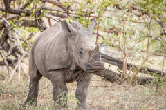 Starring White rhino calf. Starring White rhino calf in the Kruger National Park, South Africa stock photography
