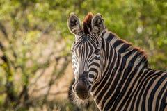 Starring Zebra Stock Photo