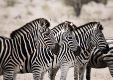 Starring Zebras in the Kruger National Park, South Africa. Royalty Free Stock Image