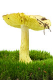 Starry agaric growning on the moss Royalty Free Stock Images