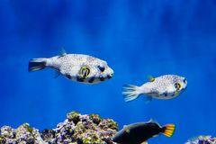 Starry Blowfish Puffer Fish. Stock Photos