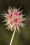 Starry Clover (Trifolium stellatum) Royalty Free Stock Photos