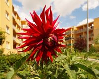Starry Dalia. Dalia of the beds in a residential area Stock Photography