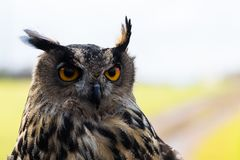 Starry eagle owl. A deep look from an european eagle owl looking for prey stock photography