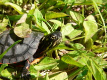 Starry Eyed. Hatchling Painted Turtle Stock Photography