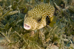 Starry puffer (arothron stellatus) Royalty Free Stock Images