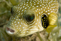 Starry puffer (arothron stellatus). 