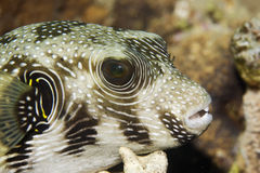 Free Starry Puffer (arothron Stellatus) Stock Photography - 7426852