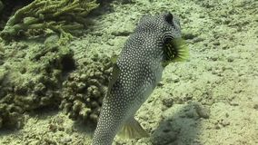 Starry Puffer on Coral Reef stock video