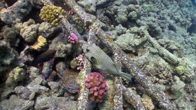 Starry puffer on Coral Reef Royalty Free Stock Photos