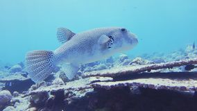 Starry Puffer Fish. Underwater Tracking Shot Of A Starry Puffer Fish, Arothron Stellatus, A Giant Puffer Swimming Over A Coral Reef In The Maldives stock video footage