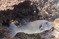 Starry pufferfish stock images