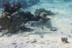Starry pufferfish Stock Photo