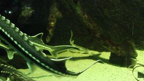 Starry sturgeon fishes stock video footage