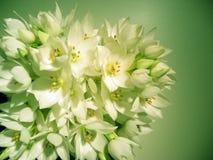Stars of bethlehem. Flowers called 'Stars of Bethlehem' in green tones Stock Images