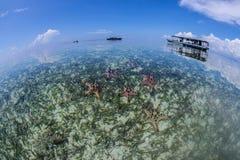 Stars of Mabul. Groups of starfish, Crowns of Thorns, found around coastal area of Mabul Island, Semporna Stock Image