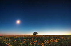 Stars and the moon on a field of sunflowers Royalty Free Stock Images