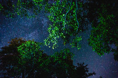 Stars through tree branches. Bright stars in night sky through green branches on trees Stock Images
