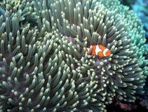 Starscape di Clownfish Fotografia Stock Libera da Diritti