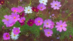 Starship is een kleurrijke bloem Royalty-vrije Stock Afbeelding