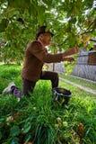 Starsi średniorolni zrywań jabłka Obrazy Royalty Free