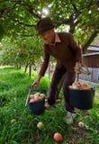 Starsi średniorolni zrywań jabłka Fotografia Royalty Free