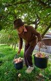 Starsi średniorolni zrywań jabłka obraz royalty free