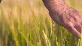 Starsza Dorosła Średniorolna ręka Czuje wierzchołek pole Jęczmienna uprawa Przy zmierzchem Rolnictwo zbiera poj?cie zdjęcie wideo