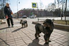Starsza kobieta chodzi jej dwa psa w mieście Fotografia Royalty Free
