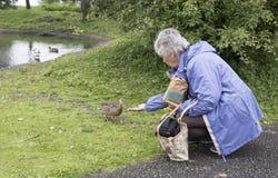 Starsza kobieta karmi kaczki Obraz Royalty Free