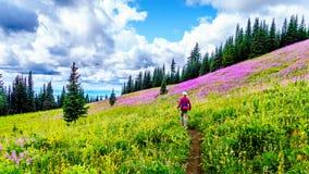 Starsza kobieta na wycieczkuje śladzie w wysokogórskich łąkach zakrywać w różowym Fireweed kwitnie zdjęcie stock