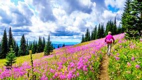 Starsza kobieta na wycieczkuje śladzie w wysokogórskich łąkach zakrywać w różowym Fireweed kwitnie fotografia stock