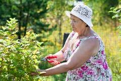 Starsza kobieta przycina krzaki z pruner Zdjęcie Royalty Free